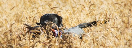 2014 South Dakota Pheasant Season
